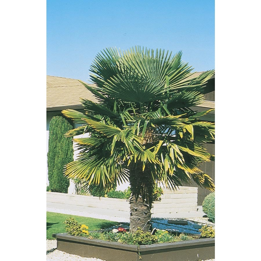 Windmill Palm (L5363)