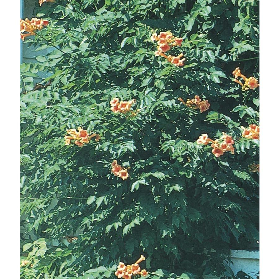 2 33 Gallon Orange Jubilee Esperanza L11110 At Lowes Com