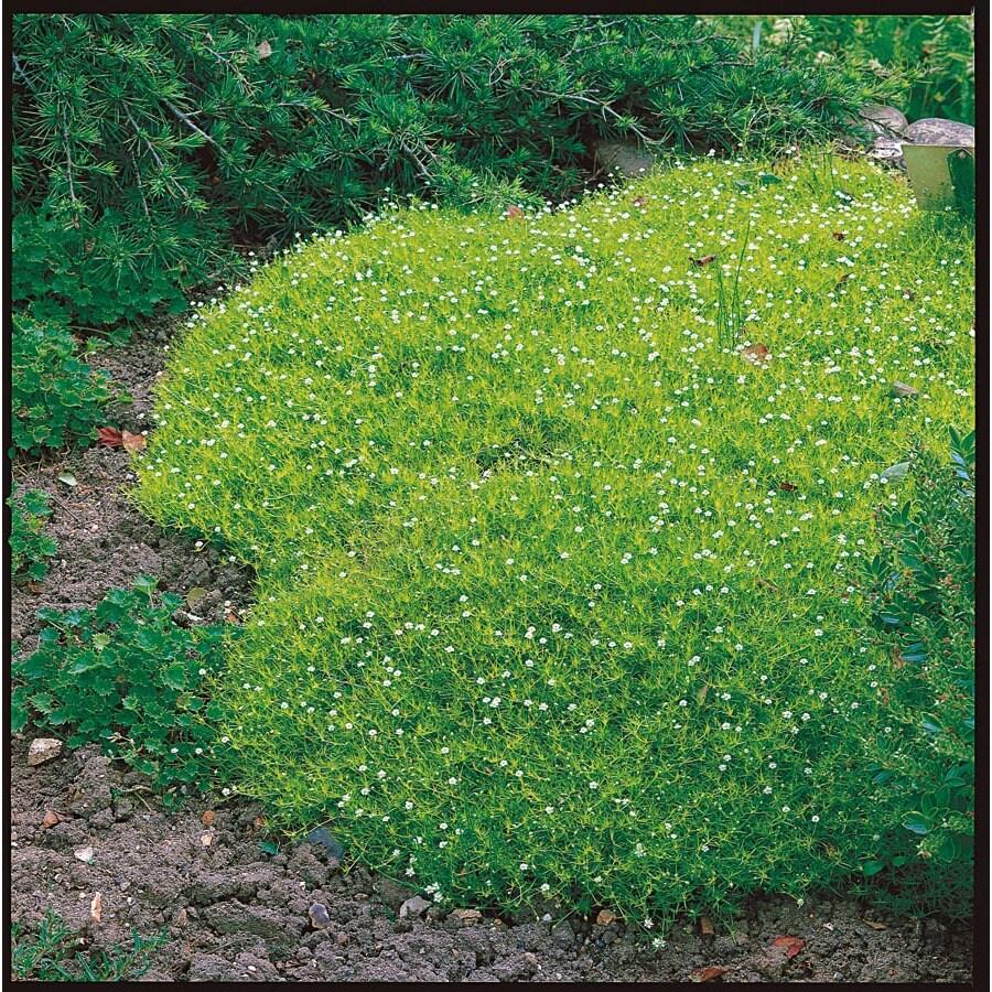 Irish Moss (LW04022)