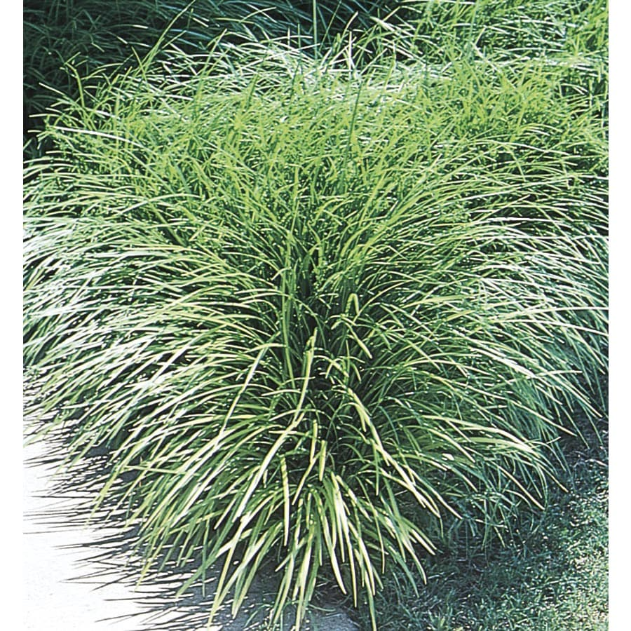64-Count Mondo Grass (L4050)