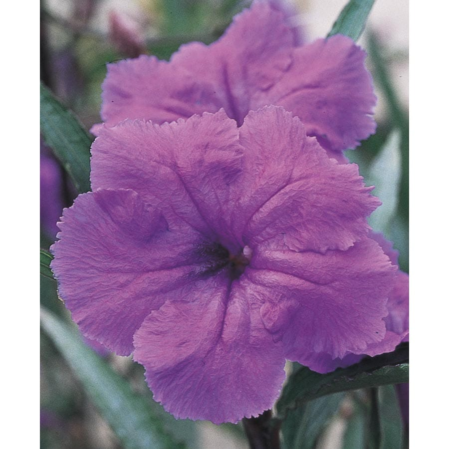 2.33-Gallon Ruellia (L8037)