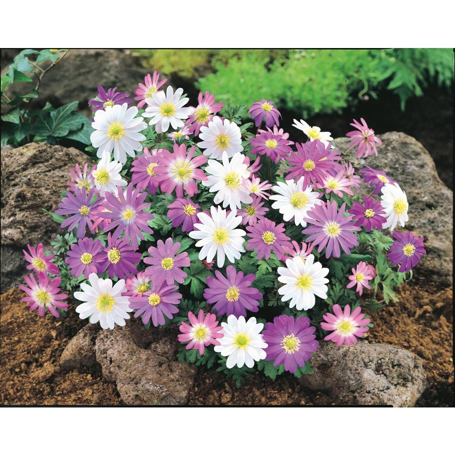Garden State Bulb 20-Count Blanda Anemone (L15027)