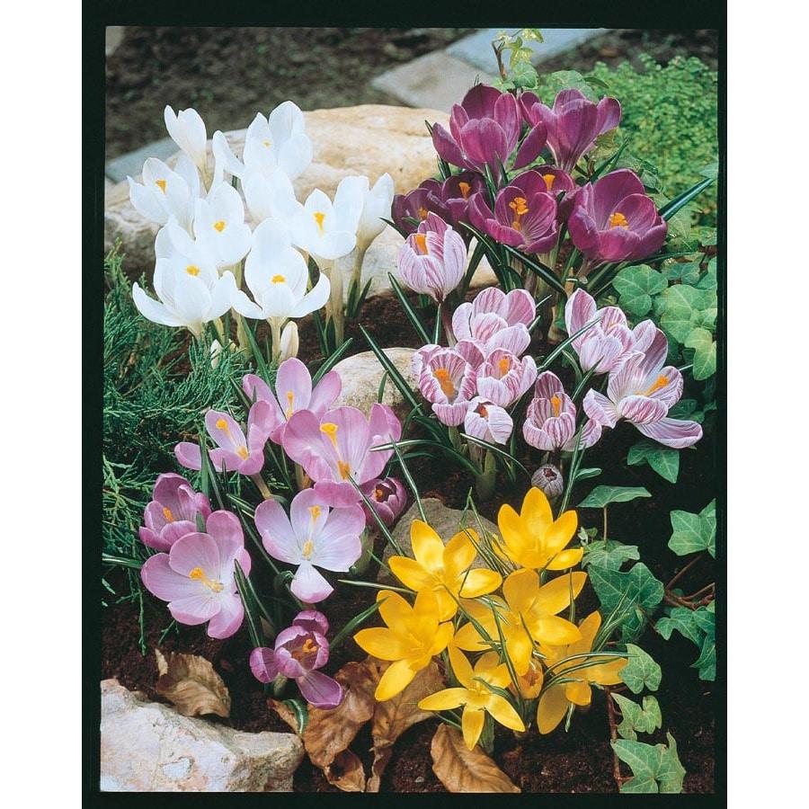 Garden State Bulb 20-Pack Crocus Bulbs