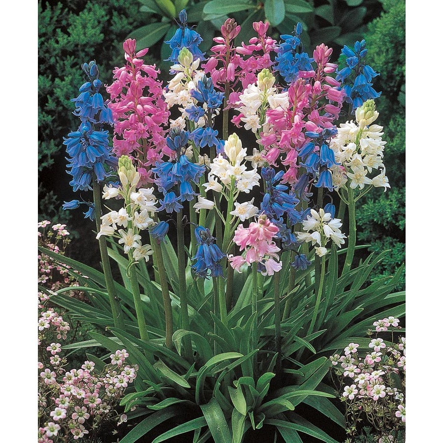 Garden State Bulb 10 Pack Spanish Bluebells Mixed (Lb20130)