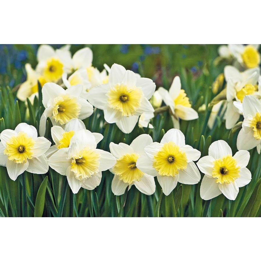 Garden State Bulb 8-Pack Ice Follies Daffodil Bulbs