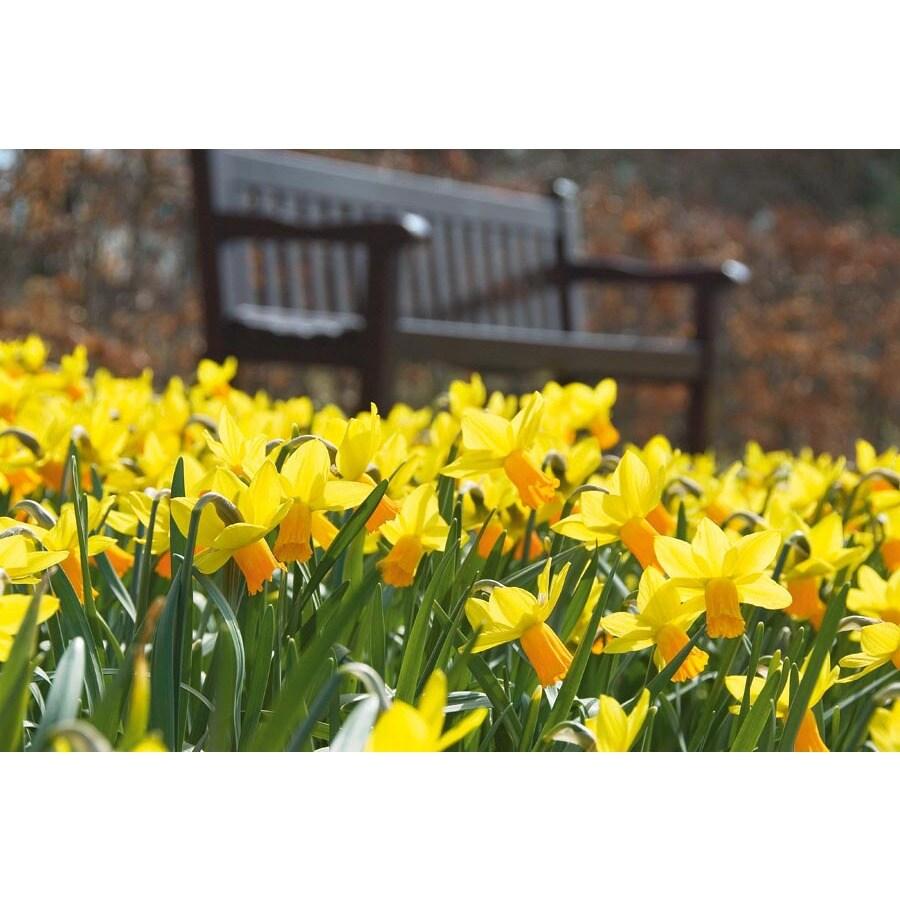 Garden State Bulb 8-Pack Jetfire Daffodil Bulbs