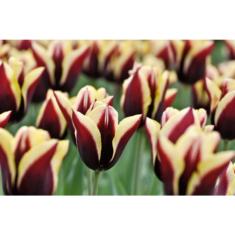 Garden State Bulb 10-Pack Gavota Tulip Bulbs