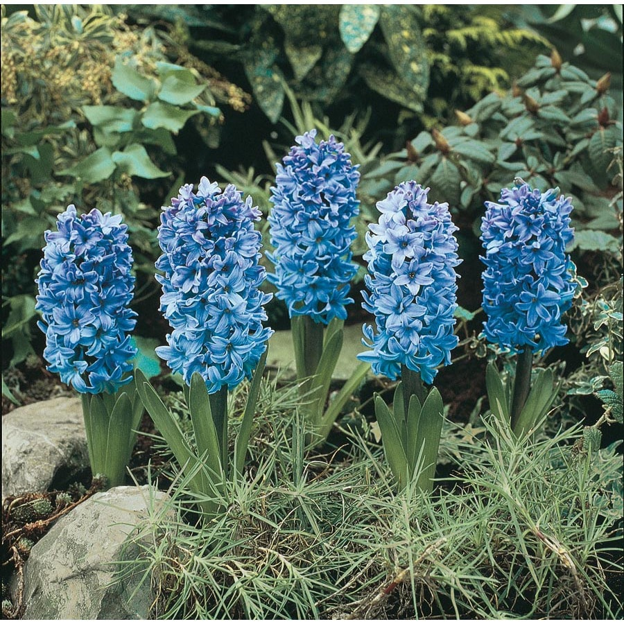 Garden State Bulb 8-Pack Delft Blue Hyacinth Bulbs (LB455)