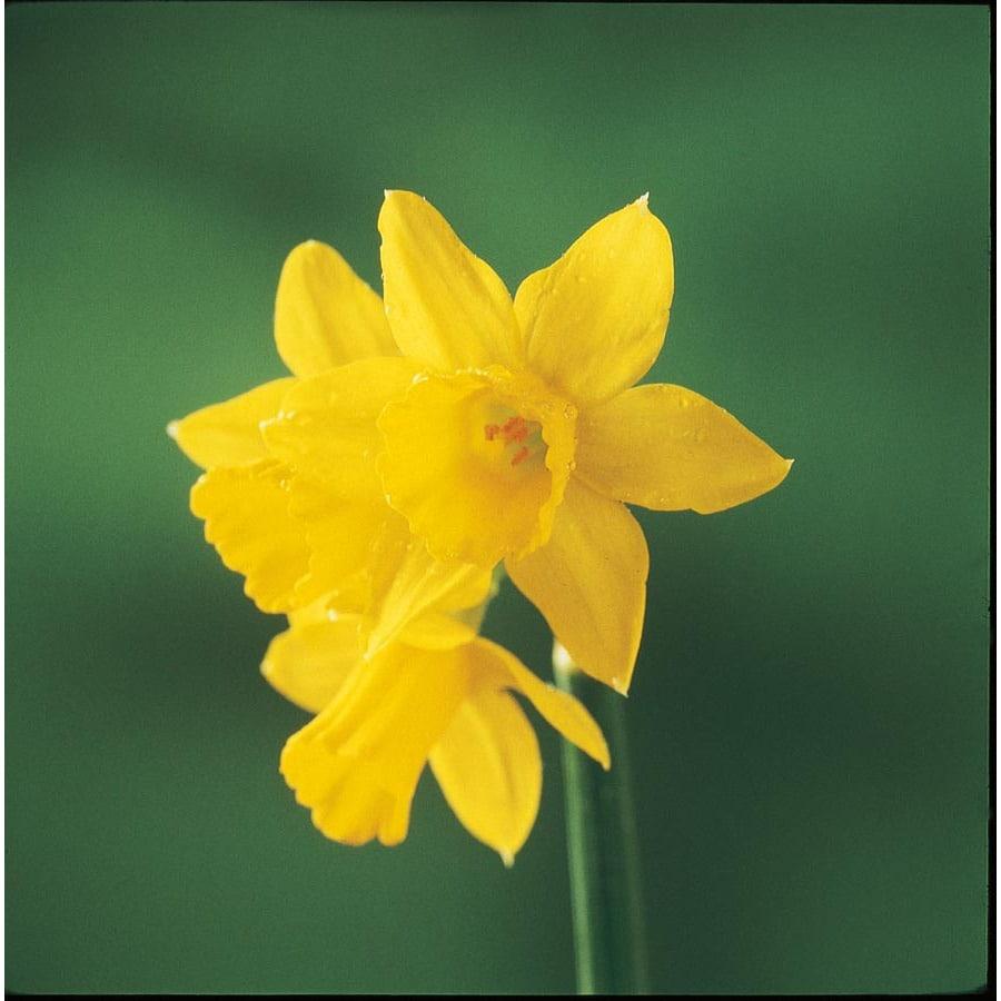 Garden State Bulb 15-Pack Tete-a-Tete Daffodil Bulbs (LW03007)