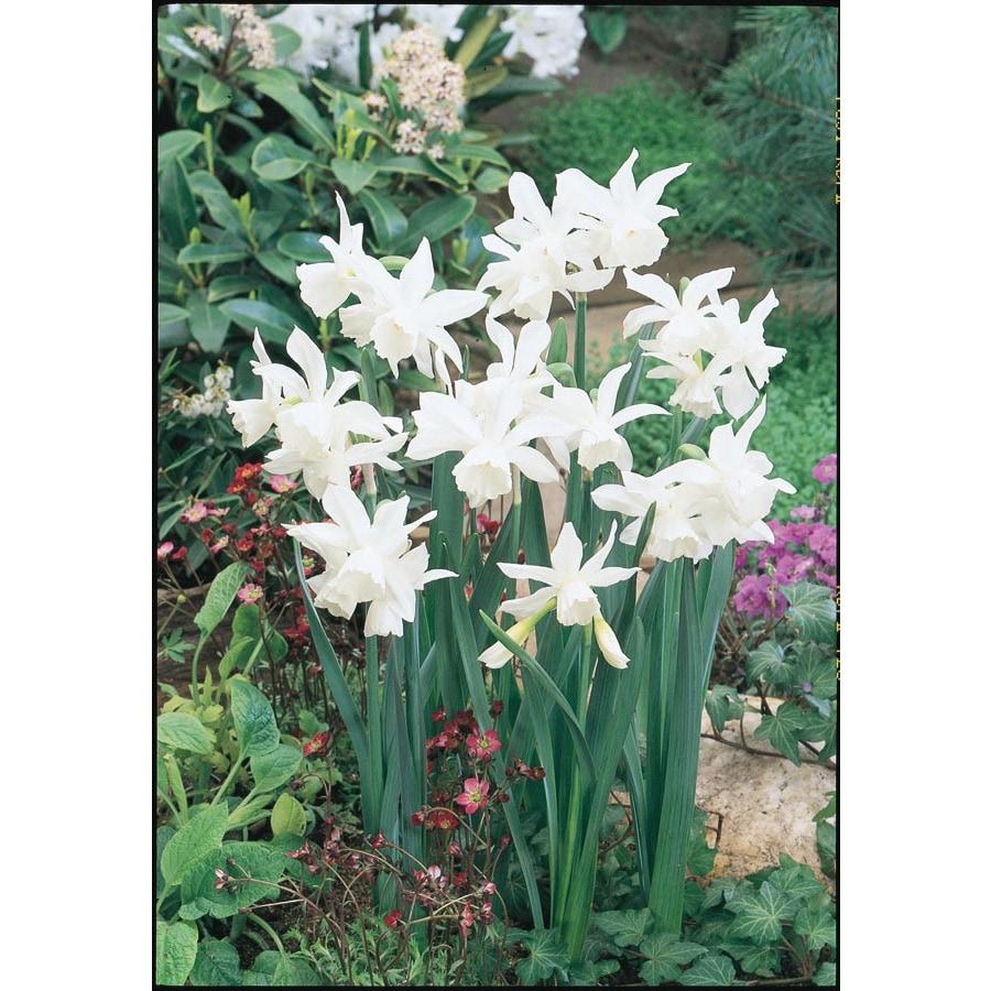 Garden State Bulb 15-Pack Thalia Daffodil Bulbs