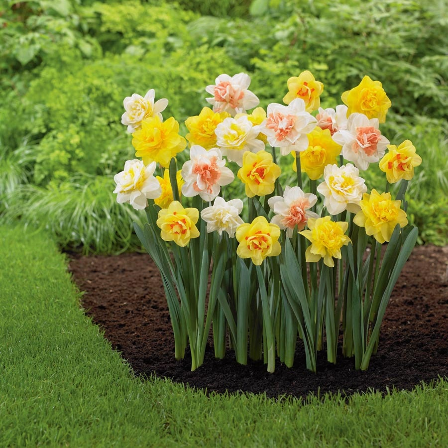 Garden State Bulb 12-Pack Double Mix Daffodil Bulbs