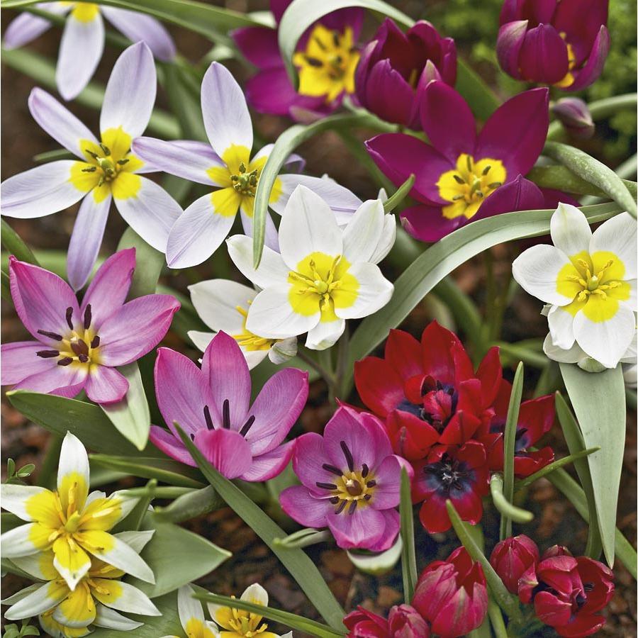 Garden State Bulb 25-Pack Tulip (Mixed) Bulbs