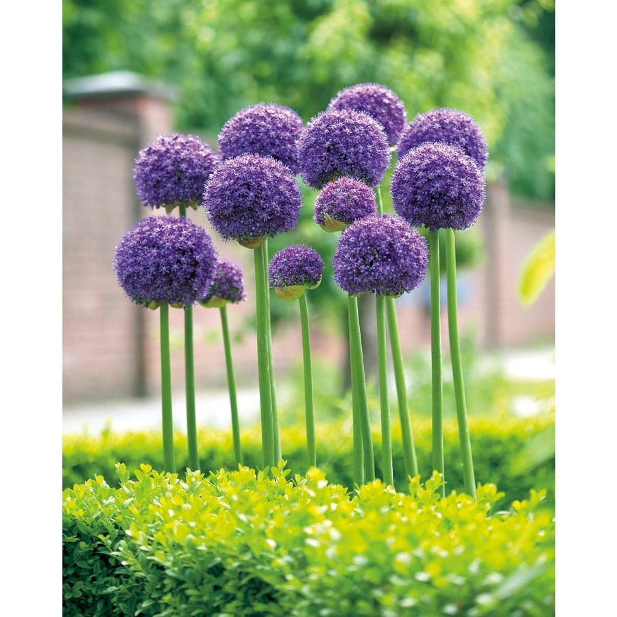 Garden State Bulb 3-Pack Gladiator Allium Bulbs