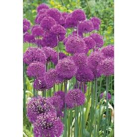 Garden State Bulb 15-Pack Allium Purple Sensation 15PK Bulbs (LB408)