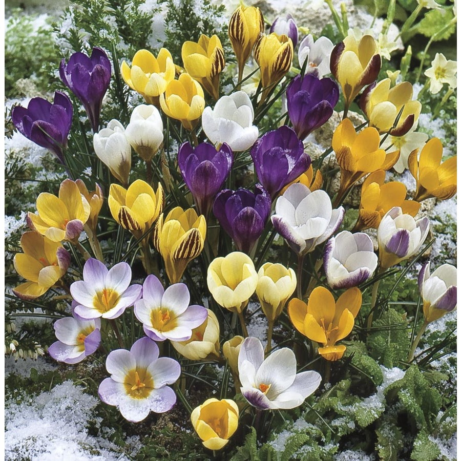 Shop garden state bulb 60 pack crocus bulbs lb22371 at lowes garden state bulb 60 pack crocus bulbs lb22371 mightylinksfo Choice Image