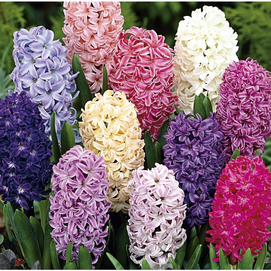 Garden State Bulb 15-Pack Hyacinth (mixed) Bulbs (L17328)