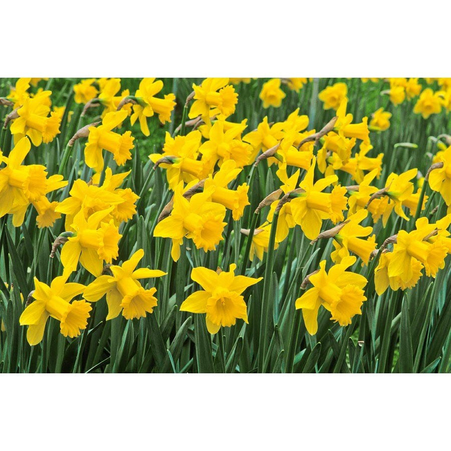 Garden State Bulb King Alfred Daffodil Bulbs Lb392 In The Plant Bulbs Department At Lowes Com