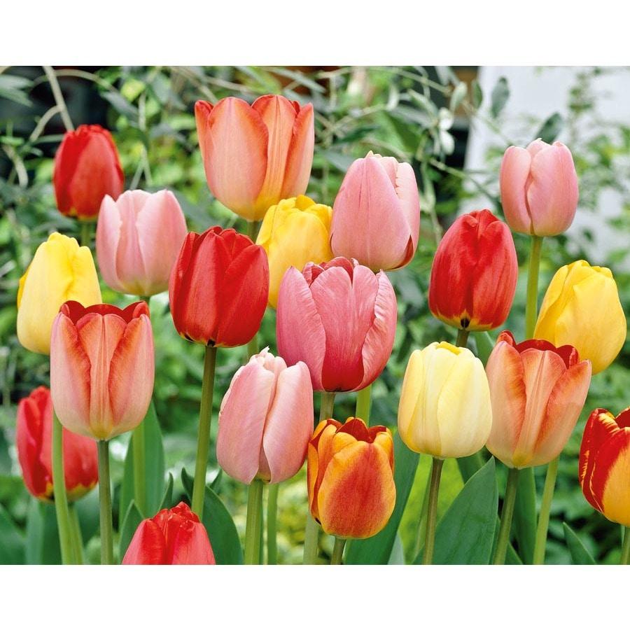 Garden State Bulb 100-Pack Darwin Hybrid Mix Tulip Bulbs