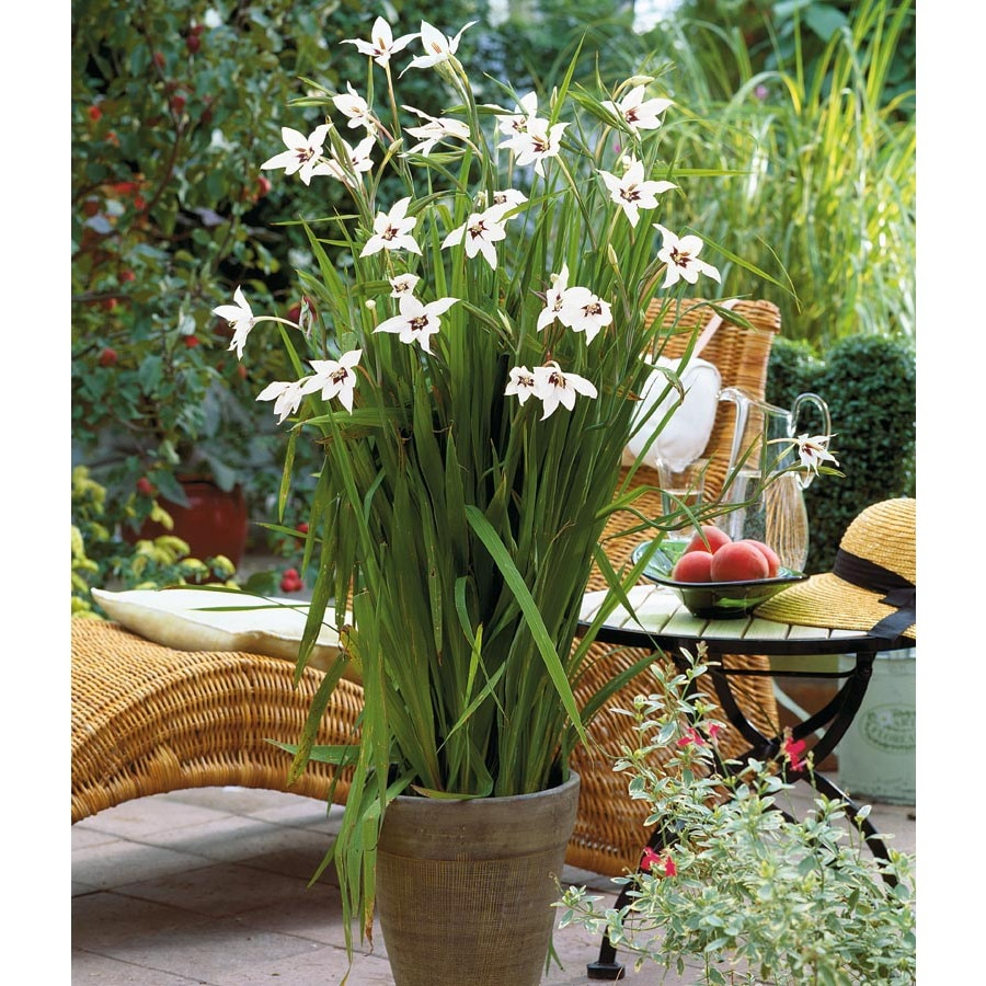 Garden State Bulb 20-Pack Gladiolus Star Acidanthera Bulbs (LB22252)