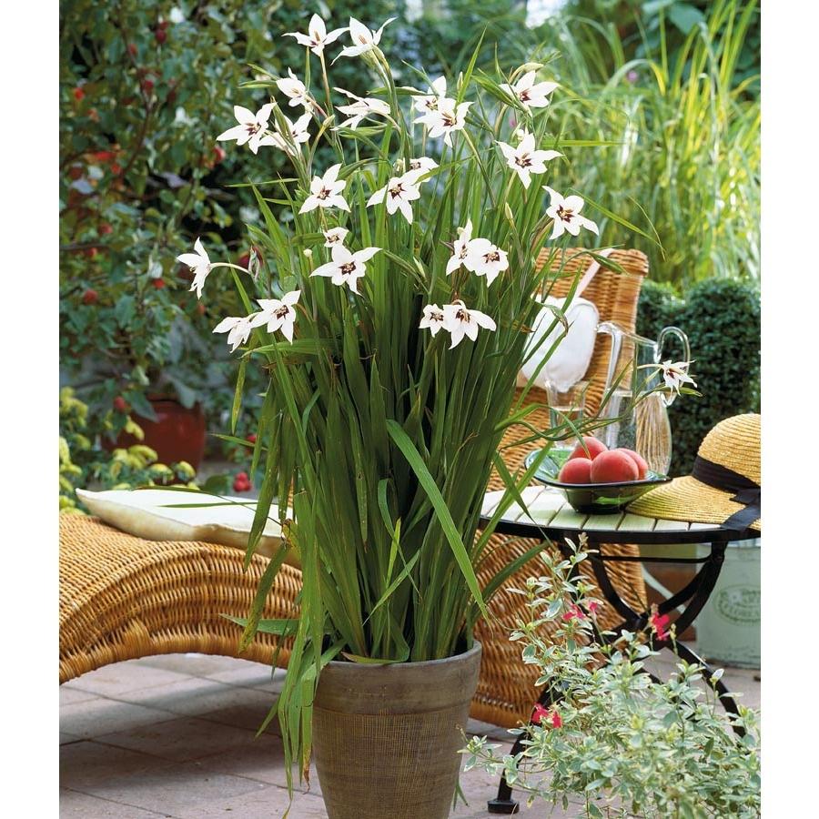 Garden State Bulb 20-Pack Gladiolus Star Acidanthera Bulbs (LB22252)