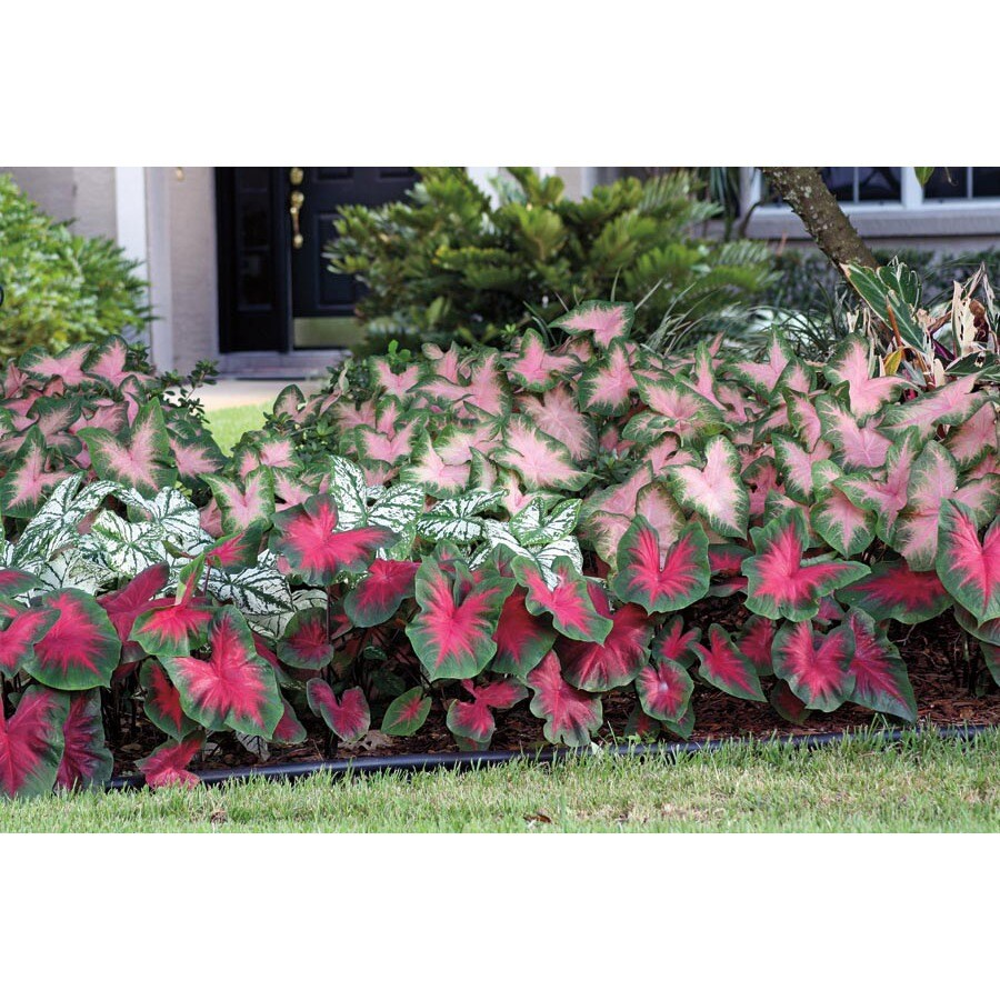 Garden State Bulb 8 Pack Caladium Mixed Bulbs (L3279)