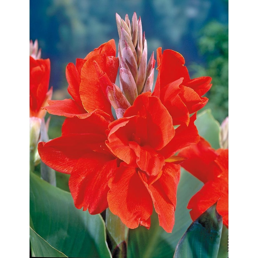 Garden State Bulb 4 Pack President Canna Lily (L5541)