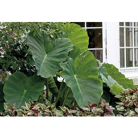 Garden State Bulb 1-Pack Elephant Ear Bulbs (L8541)
