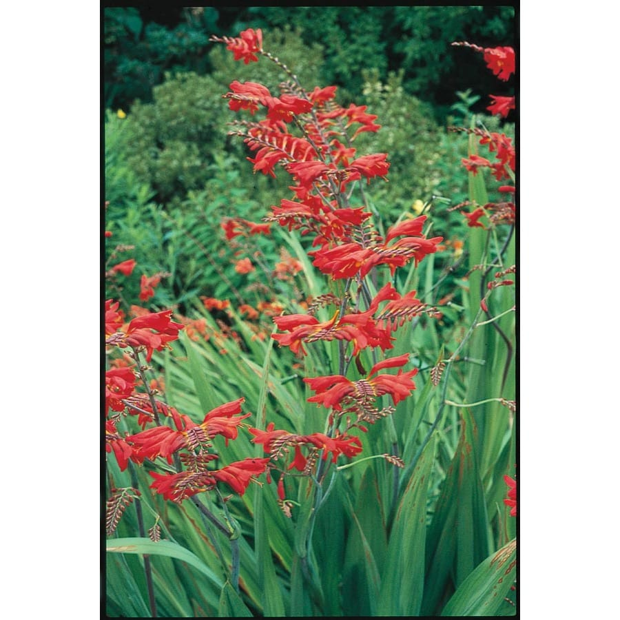 Garden State Bulb 12 Pack Tall Flowering Red Crocosmia (Lb22250)