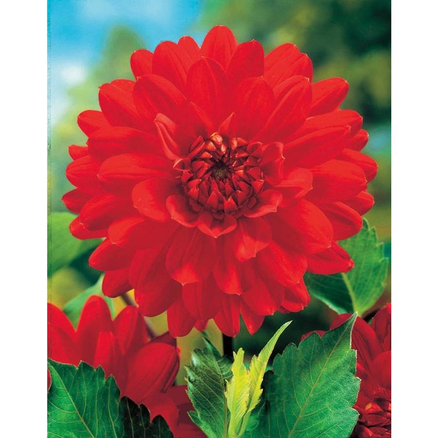 Garden State Bulb 2-pack Barbarossa Dahlia (Lb21748)