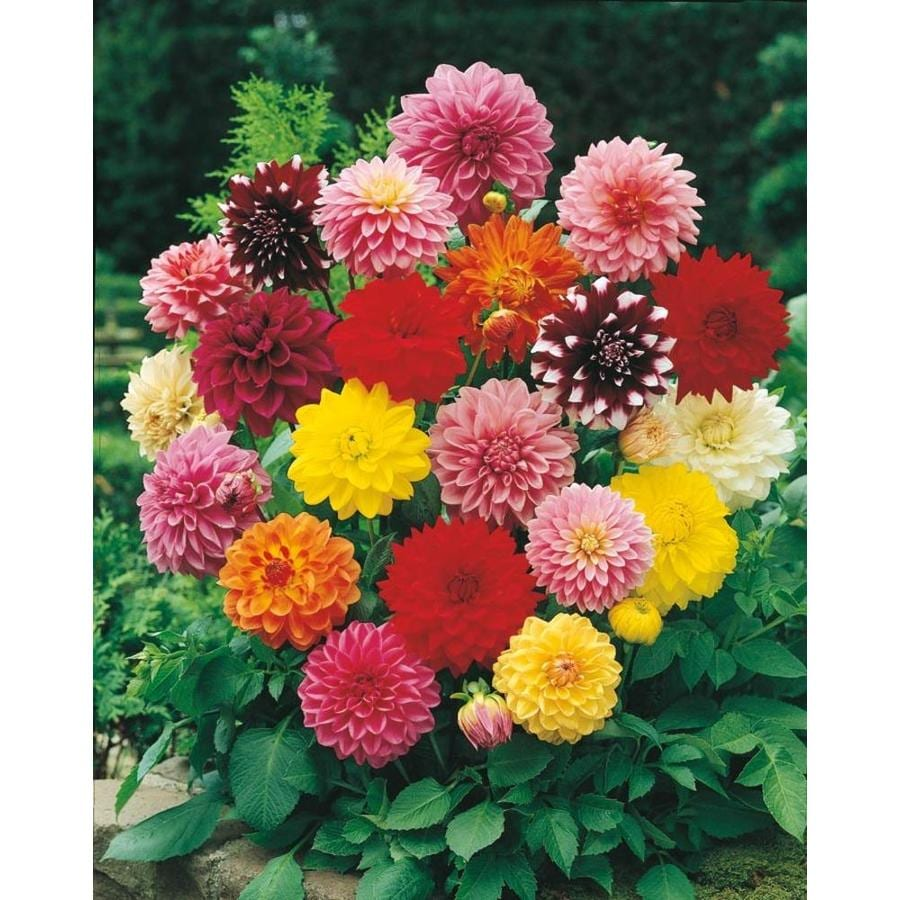 Garden State Bulb 4-Pack Mixed Dinnerplate Dahlia (L3480C)  sc 1 st  Lowe\u0027s : dinner plate dahlia - pezcame.com