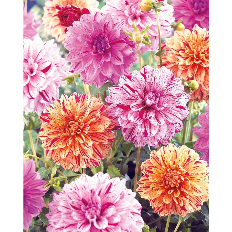 Garden State Bulb 4-pack Mixed Painter's Palette Dahlia (Lb21799)