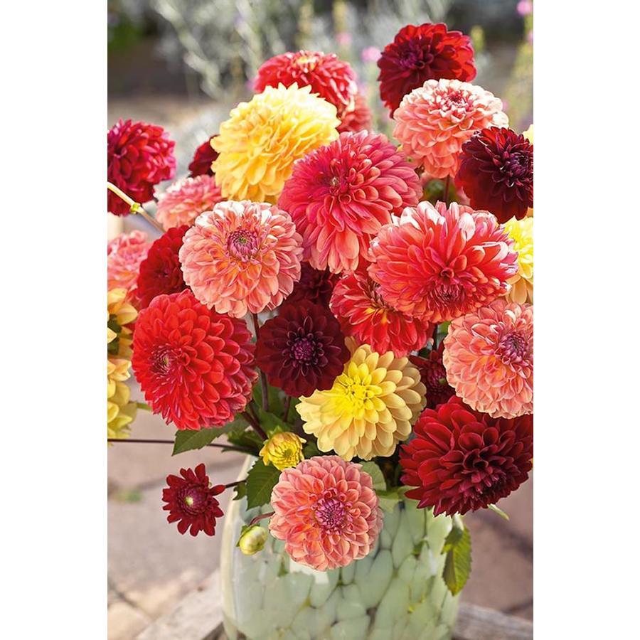 Garden State Bulb 4-pack Mixed Pompon Dahlia (L3480E)