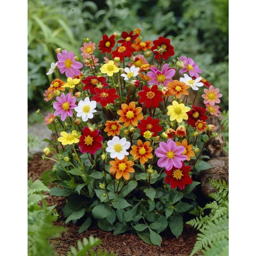 Garden State Bulb 4-Pack Mixed Topmix Dahlia Bulbs (LB21803)