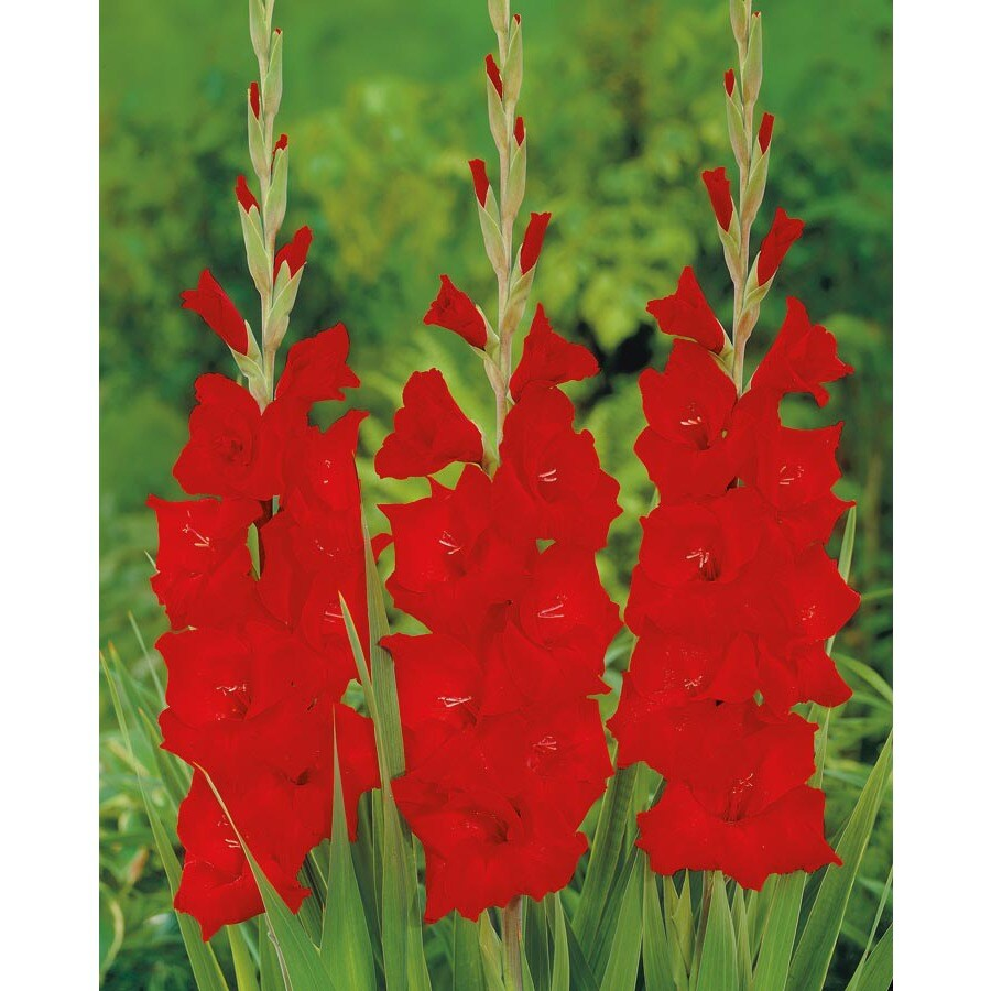 Garden State Bulb 20-Pack Victor Borge Gladiolus Bulbs