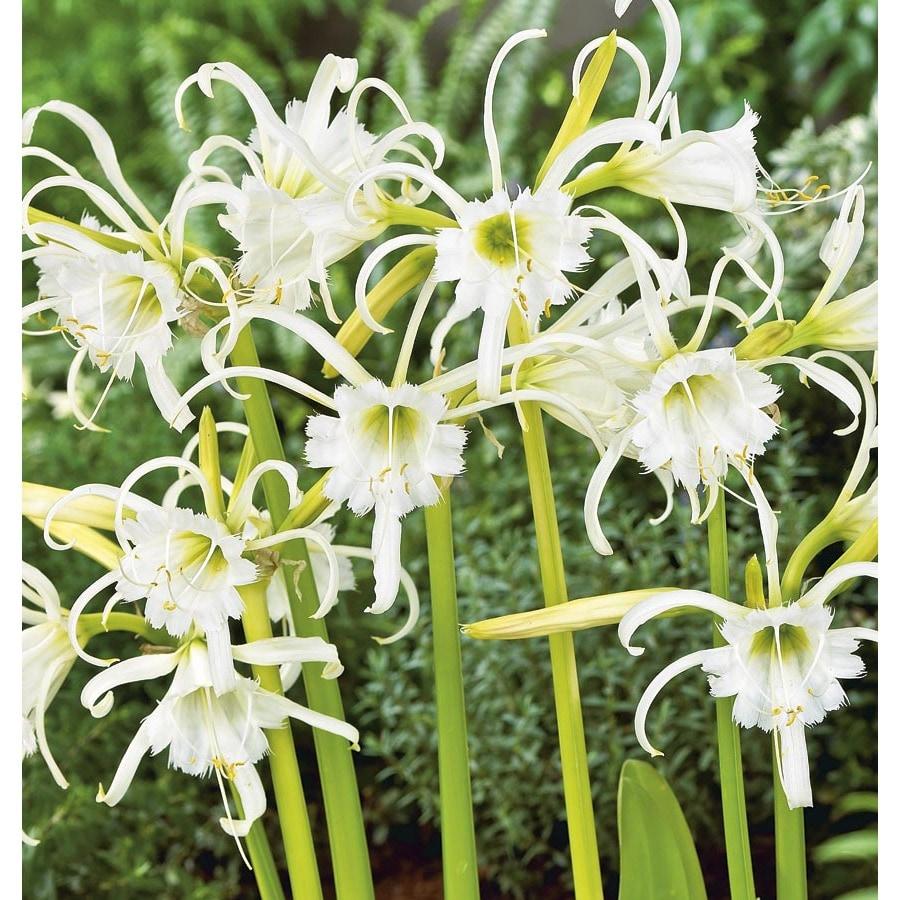 Garden State Bulb 3-Pack Peruvian daffodil Bulbs (LB21809)