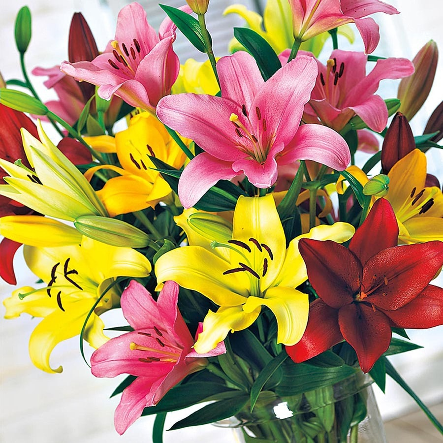 Garden State Bulb 6 Pack Asiatic Lily (Lw01857)