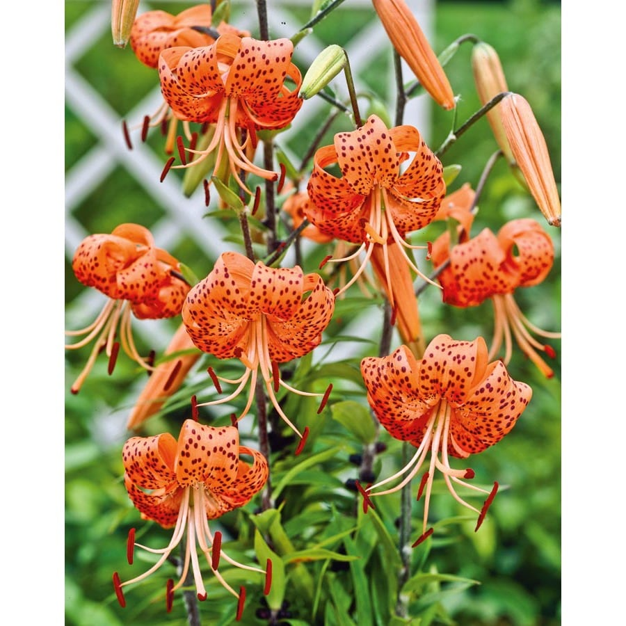Shop garden state bulb 4 pack tiger lily bulbs lw00528 at lowes garden state bulb 4 pack tiger lily bulbs lw00528 izmirmasajfo