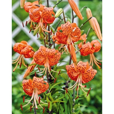 Garden State Bulb 4 Pack Tiger Lily Bulbs Lw00528 At Lowes Com