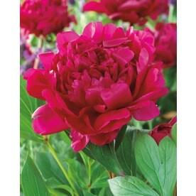 Garden State Bulb Felix Crousse Peony Bulbs (L5547)