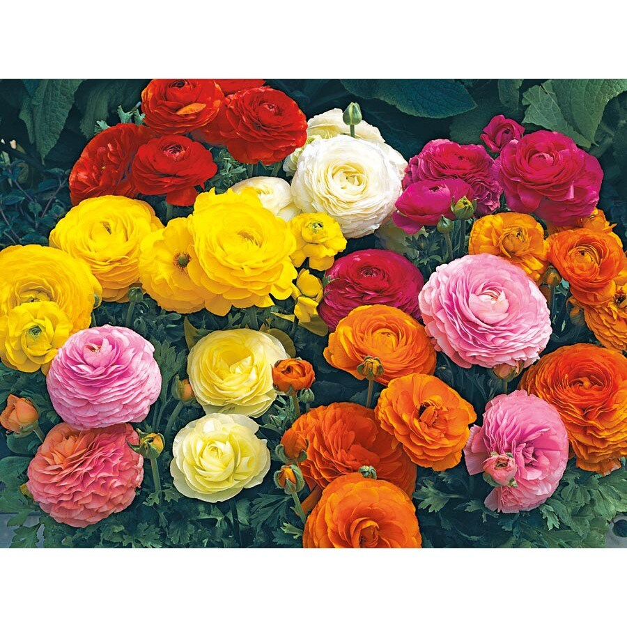 Garden State Bulb 12-pack Mixed Tecolote Ranunculus (L17846A)