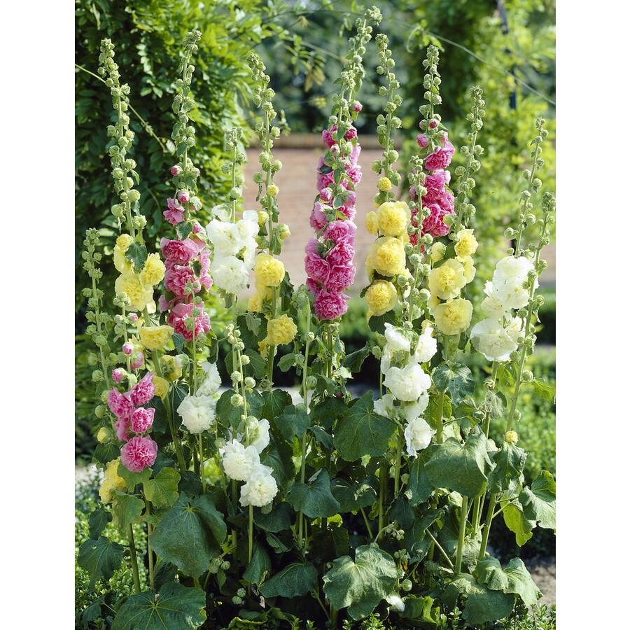 Garden State Bulb 10 Pack Double Mixed Hollyhock (Lb22251)