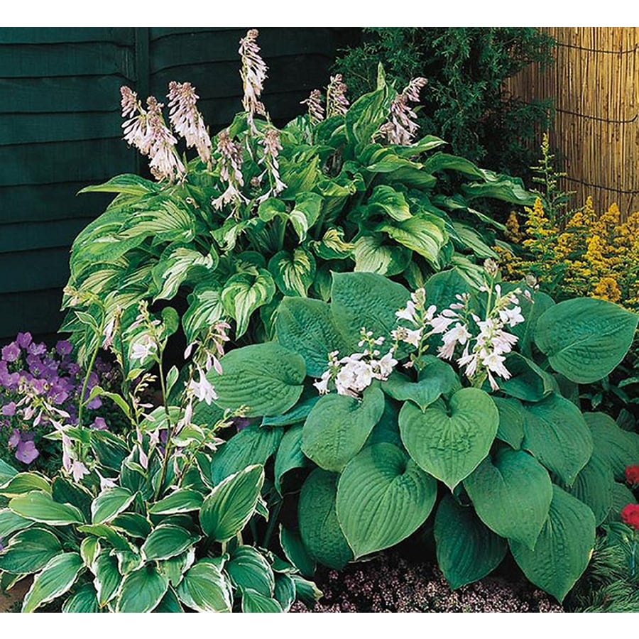 Garden State Bulb 6 Pack Plantain Lily (Lb029)