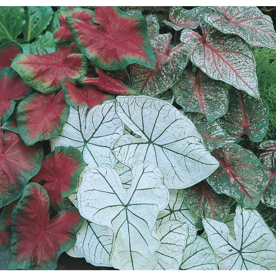 Garden State Bulb 13-Pack Elephant Ear-Caladium Mix Bulbs (L3279)