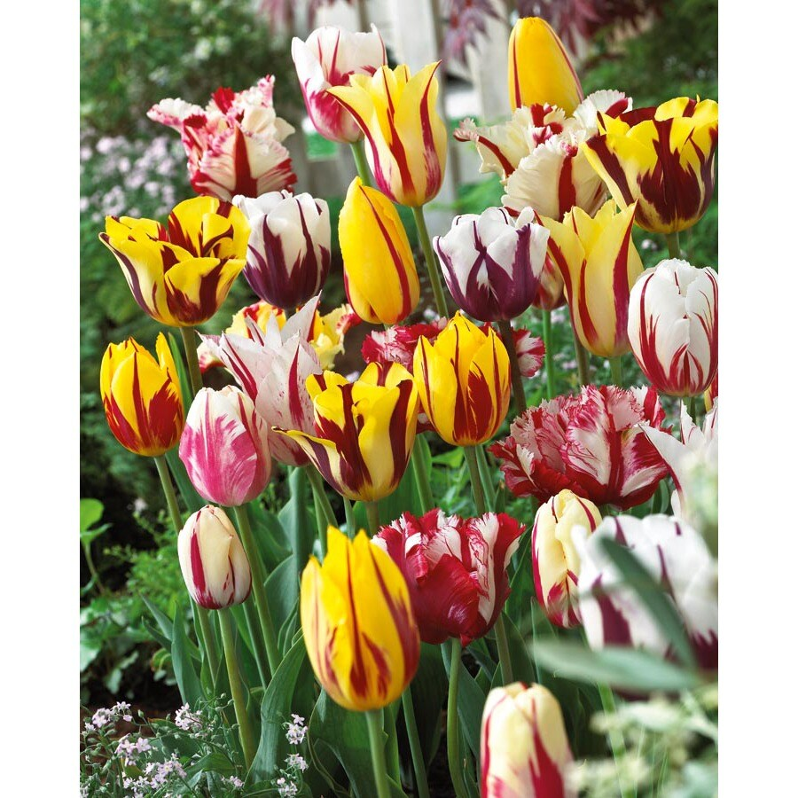 Garden State Bulb 12-Pack Rembrandt Blend Tulip Bulbs