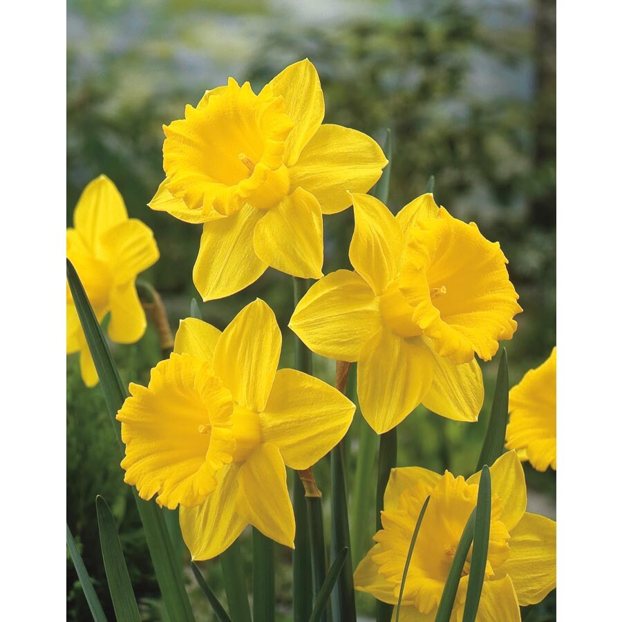 Garden State Bulb 8-Pack Gigantic Star Daffodil Bulbs