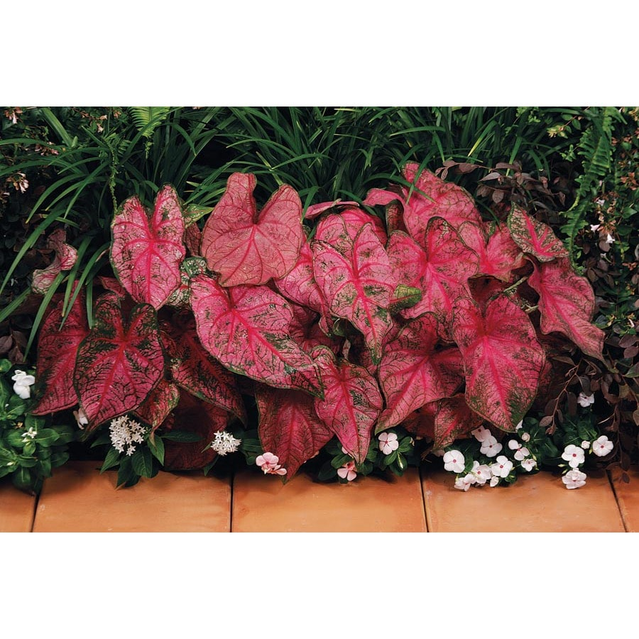 Garden State Bulb 5-pack Pink Passion Caladium (L21391)