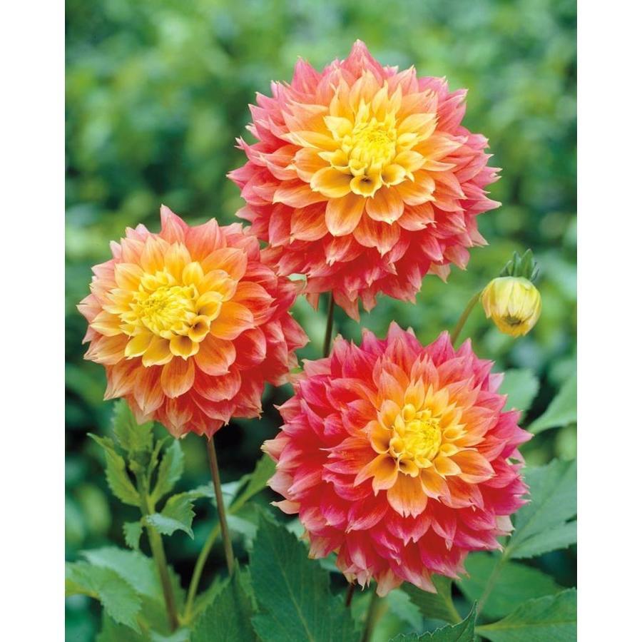 Garden State Bulb 2-Pack Kogane Fubuki Dahlia (LB22089)