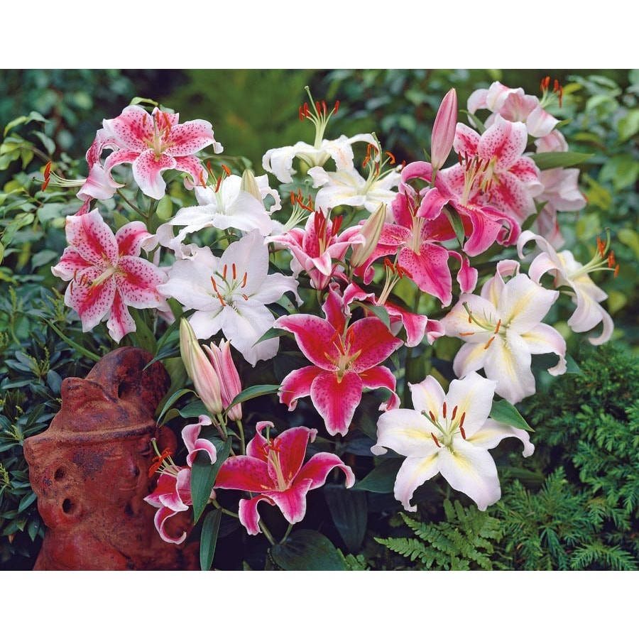 Garden State Bulb 8 Pack Oriental Lily (L5754)