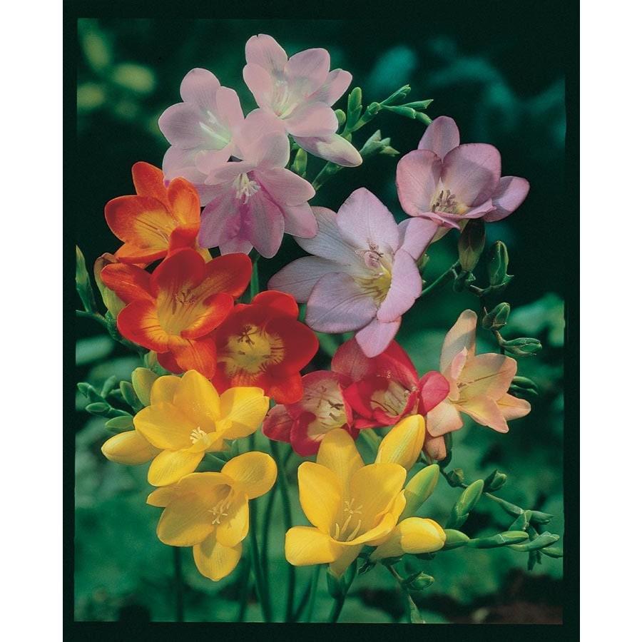 Garden State Bulb 10-Pack Freesia Bulbs