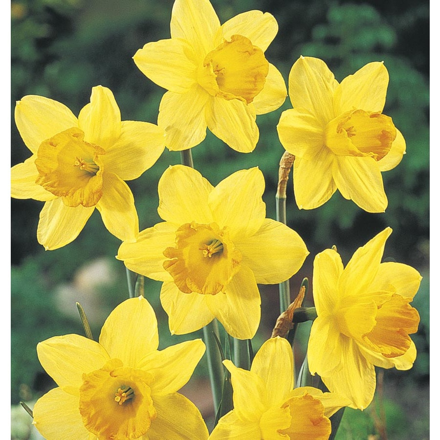 Garden State Bulb 15-Pack Fortune daffodil Bulbs (LB431)